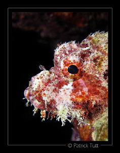 Ugly face of a scorpoin fish  - Saudi Arabia - Canon S90 ... by Patrick Tutt 